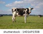 Black Pied Cow  Friesian...