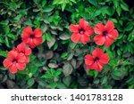 red hibiscus karkade  plant in... | Shutterstock . vector #1401783128