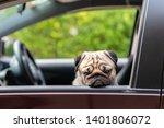 Dog Pug On Car Making Serious...