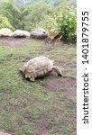 Stock photo sulcata tortoises roaming around on grass 1401879755