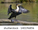 Great Cormorant  Phalacrocorax...