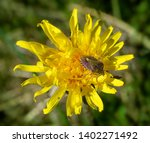 insect in pollen sitting on a... | Shutterstock . vector #1402271492