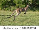 australian kangaroo run along... | Shutterstock . vector #1402334288