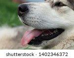 alaskan malamute breed dog... | Shutterstock . vector #1402346372