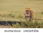 Lioness Standing On Top Of Hil...