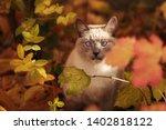 Siamese Grey Cross Eyed Cat In...