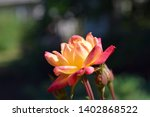 multifarious colored  rose in... | Shutterstock . vector #1402868522