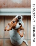 Stock photo cute small dog sitting by the window rainy day water drops on the window glass dog looking bored 1402870148