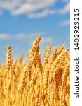 Golden Ears Of Wheat In The...