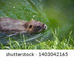 Adult Beaver Eating A Plant....