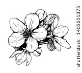 Sketch Hand Drawn Apple Blosso...