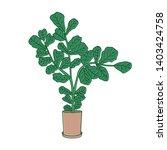 fiddle leaf fig or ficus lyrata ...   Shutterstock . vector #1403424758