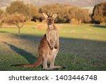 Joey Kangaroo At Sunset And...