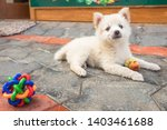 Stock photo cutie puppy white fluffy puppy of pomeranian spitz pomerans puppy dog with apple little spitz 1403461688