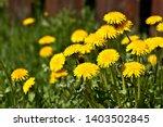fluffy yellow dandelion flowers ...   Shutterstock . vector #1403502845