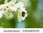 Bumblebee On Apple Blossom...