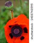 orange oriental poppy is...   Shutterstock . vector #1403743595