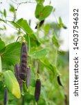 purple tutankhamen peas at...   Shutterstock . vector #1403754632