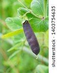 purple tutankhamen peas at...   Shutterstock . vector #1403754635