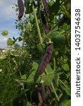 purple tutankhamen peas at...   Shutterstock . vector #1403754638