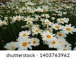 chrysanthemum cinerariaefolium...   Shutterstock . vector #1403763962