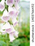 light purple digitalis purpurea ...   Shutterstock . vector #1403766452
