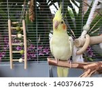 Yellow Nymph Cockatiel Parrot...