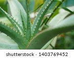 aloe africana mill. at...   Shutterstock . vector #1403769452