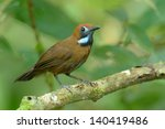 Small photo of Fluffy-backed Tit-Babbler