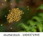 Baby Orb Weaver Spiders ...