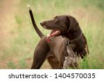 Stock photo gorgeous young german shorthaired pointer dog running in field and sitting in a meadow with a 1404570035