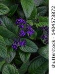 Close Up Of Heliotropium Plant...