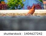 alone brown pigeon  columbidae  ... | Shutterstock . vector #1404627242