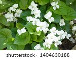Fresh White Viola Canadensis On ...