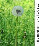very beautiful dandelion. side ... | Shutterstock . vector #1404677522