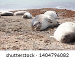 Elephant Seals On Beach ...