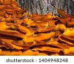 Jack O Lantern Mushrooms  Close ...