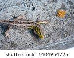 garden lizard.green lizard... | Shutterstock . vector #1404954725