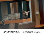 Cat Sleeping On Shelf  Siamese...