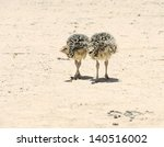 Two African Ostrich Chick In...