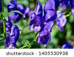 Small photo of Aconitum, commonly known as aconite, monasticism, wolf wolf, leopard curse, mouse, female curse, devil's helmet, queen of poisons or blue rocket, Most species are extremely poisonous