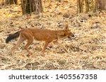Indian Wild Dog  Dhole ...