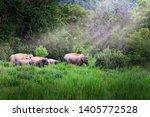 Asia Wild Elephant At Kui Buri...