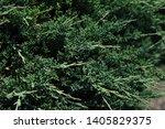 Juniperus Procumbens  Creeping...