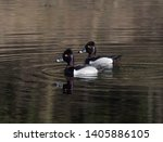 Two Male Ring Necked Ducks In...