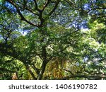 pod mahogany tree in a park in... | Shutterstock . vector #1406190782