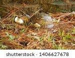 Box Turtle Eating A Mushroom