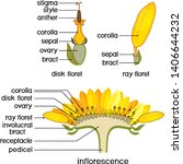 structure of flower of... | Shutterstock .eps vector #1406644232