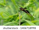 A Female Widow Skimmer Perches...