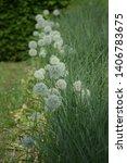 white ornamental onion as lawn...